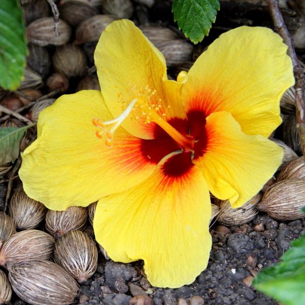 Gelbe Hibiskusblüte